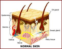 dermis-diagram